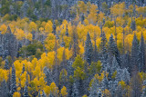 Aspens near Red Canyon
