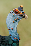 Ocellated Turkey (male)