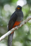 Slaty-tailed Trogon (Female)