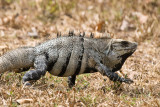Spiny-tailed (Black) Iguana