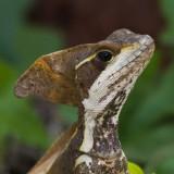Basilisk (Jesus Christ) Lizard