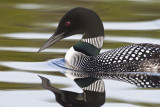 Loon portrait