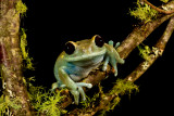 Maroon Eye Tree Frog