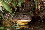 African Borrowing Bullfrog
