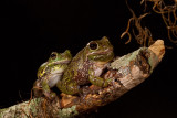 Barking Tree Frogs