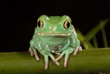 Painted Monkey Frog