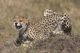 Cheetah with teeth