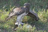 Martial Eagle (w/ Egyptian Goose)