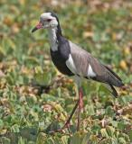 Long-Toed Plover