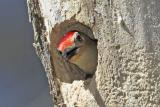 Red-Bellied Woodpecker, nest construction
