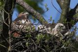 Red-tailed Hawk w Chicks
