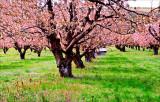 Norm Wooldridge, Cherry Orchard