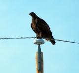 hawks_of_southern_california