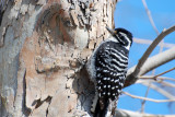 nuttalls woodpecker.jpg