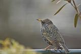 European Starling -Sturnus vulgaris -