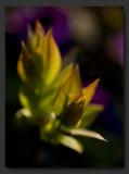 Future lilac grape
