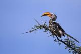 Eastern Yellow-billed Hornbill - Calao à bec jaune -Tockus flavirostris -