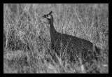 Guinea fowl -Pintade