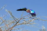 Lilac-Breasted Roller - Rollier à longs brins