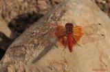 Dragonfly - Libellule