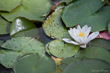 Waterlily -Nénuphar