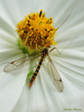 091 A daddy-longlegs (Crane fly)  killed by the smallest spider you can imagine !