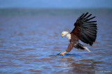 African fish-eagle - Pygargue