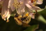 Bee from Jardin de Bagatelle 02