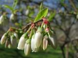 blueberry blossoms.jpg