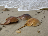Horseshoe Crabs.jpg