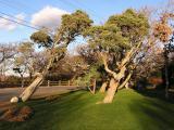 Cedar trees- West Chop.jpg