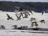 Gulls on ice.jpg