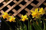 Daffodils Spring Up.jpg
