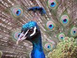 Peacock Plumage.jpg