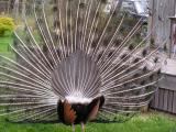 Peacock backside.jpg