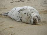 Baby Harp Seal.jpg