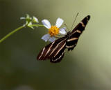 Butterfly on a Daisy at Carter Road Park.jpg