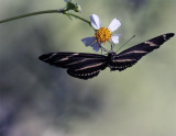Butterfly on a Daisy at Carter Road Park 2.jpg