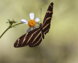Butterfly on a Daisy at Carter Road Park 3.jpg