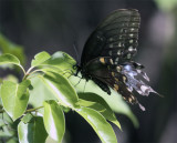 Black Butterfly on Leaf at Carter Rd Park 2.jpg