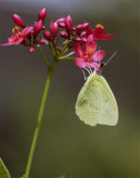Yellow Butterfly on Red Flower.jpg