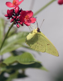 Yellow Butterfly on Red Flower 2.jpg