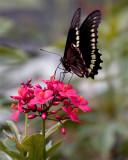 Black Butterfly on Red Flower Vertical 2.jpg