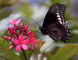 Black Butterfly feeding on red flower 2.jpg