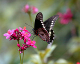 Black Butterfly on Red Flower with pollen on its legs.jpg