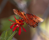 Monarch on a red flower_filtered.jpg
