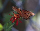 Monarch on red flower in the garden.jpg