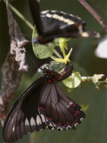 Black Butterfly Hanging from leaf with other flying.jpg