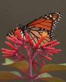 Monarch on flower in the garden vertical_filtered.jpg