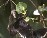 Two Black Butterflies in butterfly garden 2.jpg